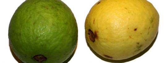 køb guava frugt