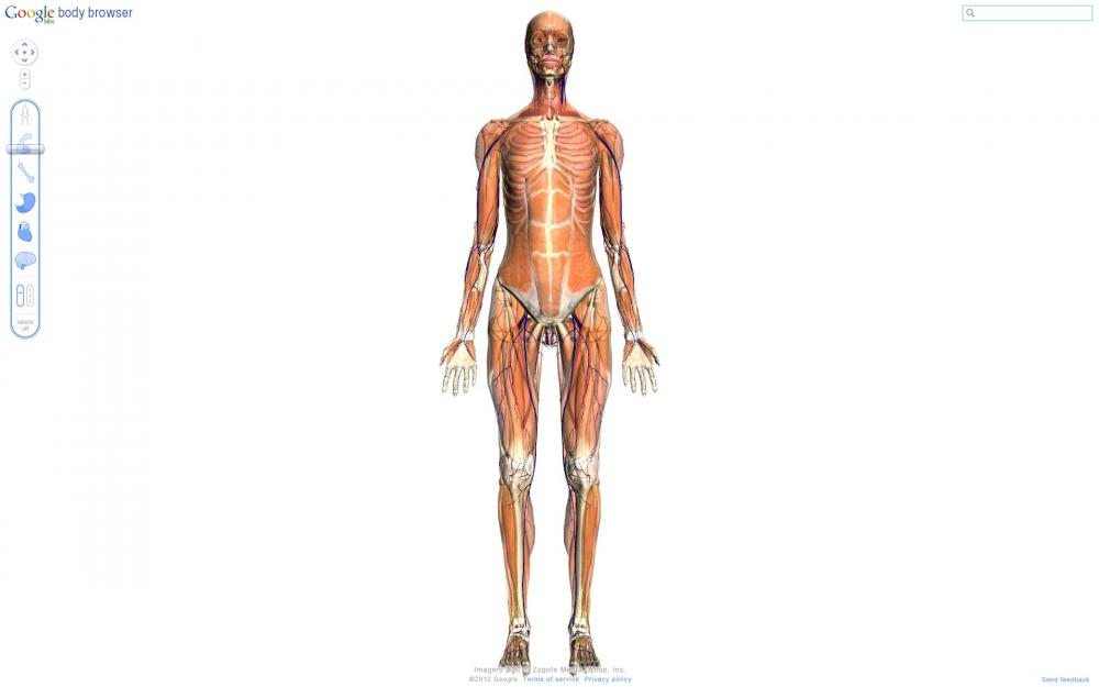 knogler i menneskekroppen